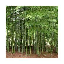 Бамбук Купити