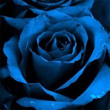Сині троянди Купити