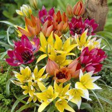 Ботанічні тюльпани Купити