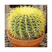 Комнатный кактус Купить