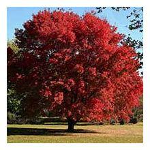 Листяні дерева Купити