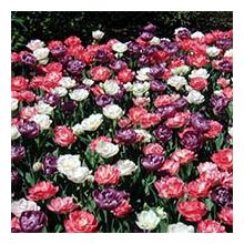 Поздние тюльпаны Купить