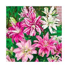 Махровые лилии Купить