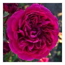 Голландські троянди Купити