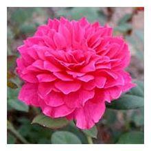 Англійські троянди Купити