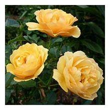 Троянди флорібунда Купити
