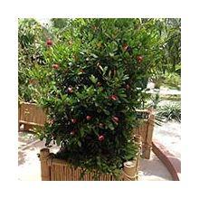 Декоративные комнатные плодовые растения Купить