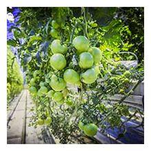 Овочі для вирощування в теплицях Купити