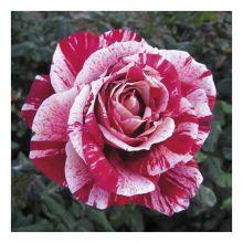 Саджанці троянд Купити