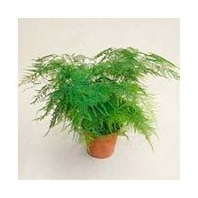 Высокие растения для дома и офиса Купить