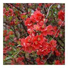 Листяні і квітучі чагарники Купити