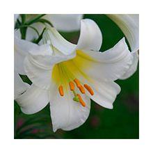Трубчатые лилии Купить