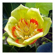 Тюльпанове дерево Купити