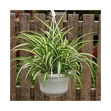 Растения, очищающие воздух Купить