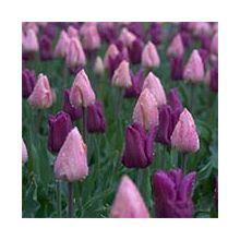 Однокольорові тюльпани Купити