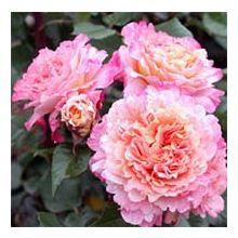 Паркові троянди Купити