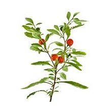 Насіння пасльону Купити
