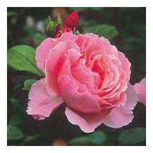 Рожеві троянди Купити