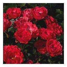 Поліантові троянди Купити