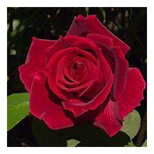 Червоні троянди Купити