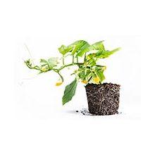 Семена самоопыляемых огурцов Купить