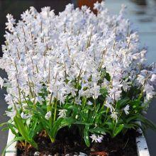 Дрібноцибулькові рослини Купити
