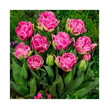 Махрові тюльпани Купити