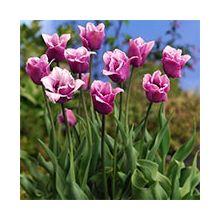 Оторочені тюльпани Купити