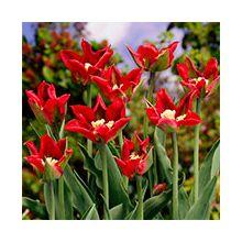 Зеленоквіткові тюльпани Купити