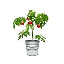 Насіння індетермінантних (високорослих) помідорів Купити
