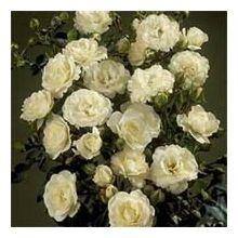 Білі троянди Купити