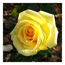 Жовті троянди Купити