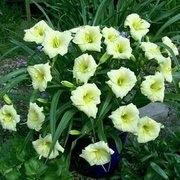 Лилейники мелкоцветковые Купить