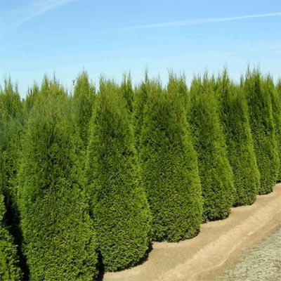 Вечнозеленые растения Купить