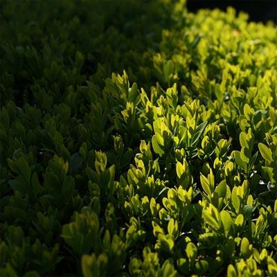 Рослини для напівтіні Купити