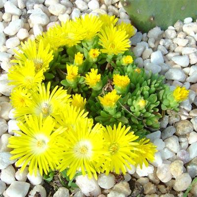 Растения для сухой почвы Купить