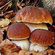 Белые грибы Купить