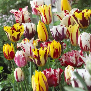 Багатокольорові тюльпани Купити