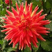 Крупноцветковые георгины Купить