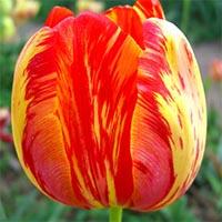 Крупноцветковые тюльпаны Купить