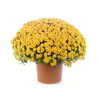 Семена хризантемы Купить