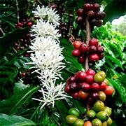 Кофейное дерево Купить
