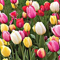 Тюльпаны Дарвина Купить