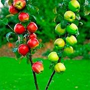 Дерево сад Купить