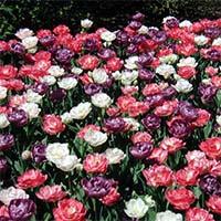 Пізні тюльпани Купити