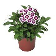 Насіння дворічних квітів Купити