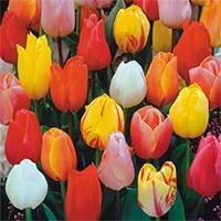 Ранние тюльпаны Купить
