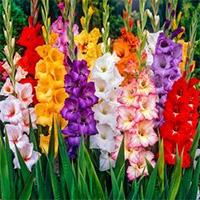 Крупноцветковые гладиолусы Купить