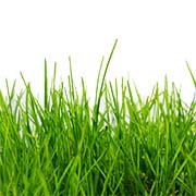 Насіння трав Купити