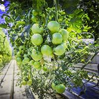 Овощи для выращивания в теплицах Купить